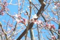 3月24日、開花状況