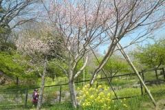 中でもよく咲いている木です。