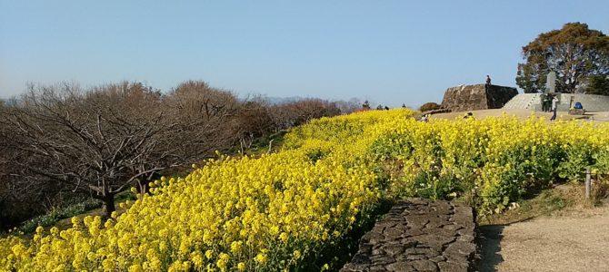 吾妻山の菜の花