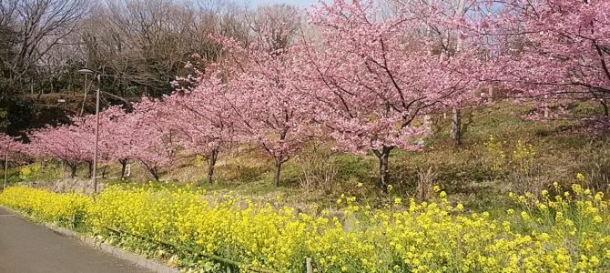 大磯運動公園の河津桜と菜の花