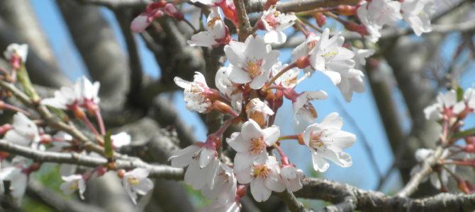 大磯新種桜が、散り始めです。(4月6日現在)