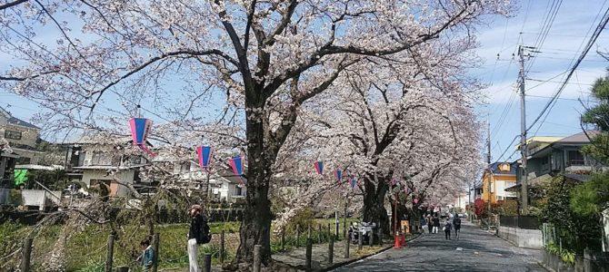 葛川沿の桜