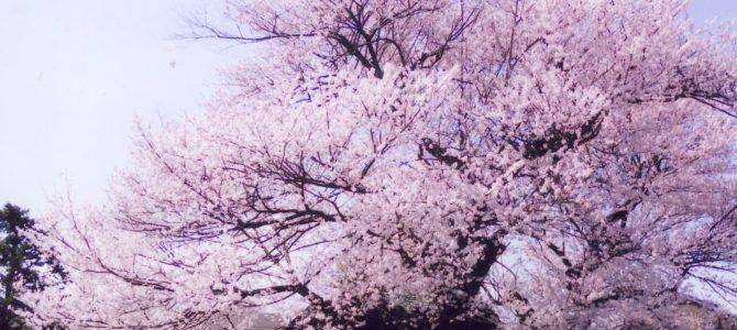 大磯新種桜の命名案