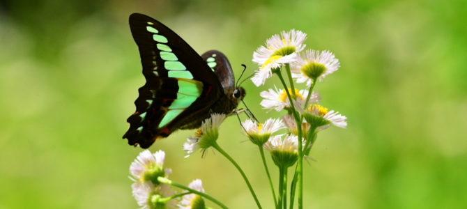 大磯町の蝶1