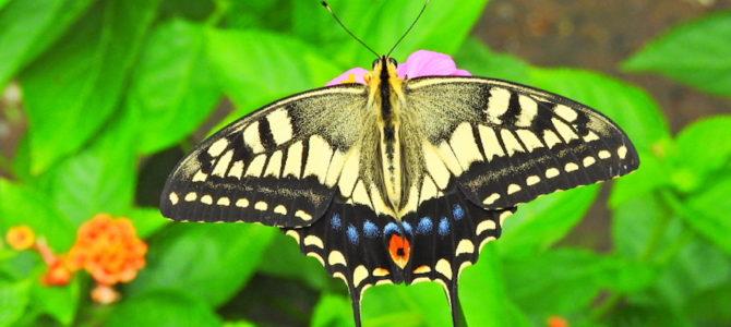 大磯町の蝶2
