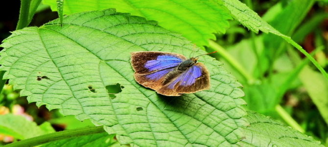 大磯町の蝶3