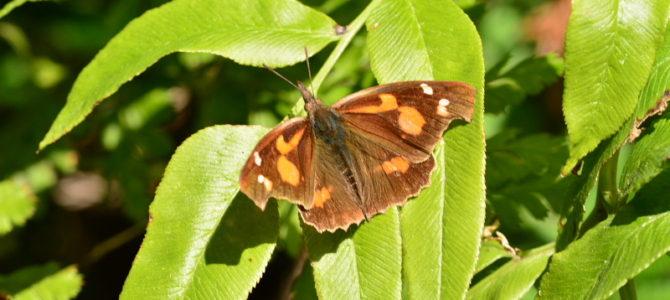大磯町の蝶4