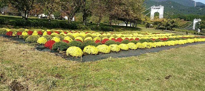 県立秦野戸川公園のザル菊
