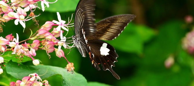 大磯町の蝶5