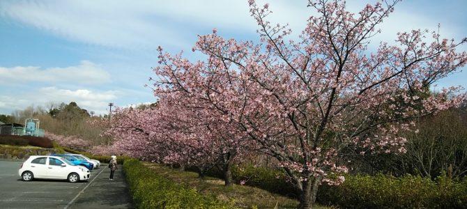 中井中央公園の河津桜