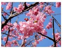 大磯発の新種桜