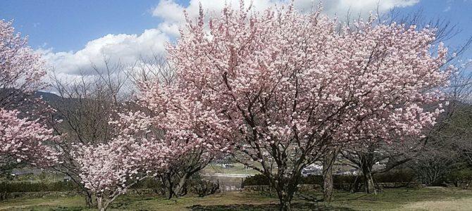桜三昧 南足柄の春めき桜