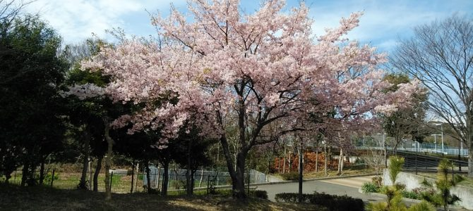 大磯運動公園「大磯小桜」