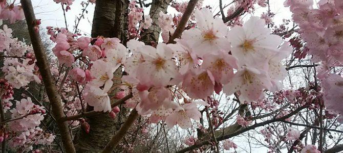 この桜の名前は何?