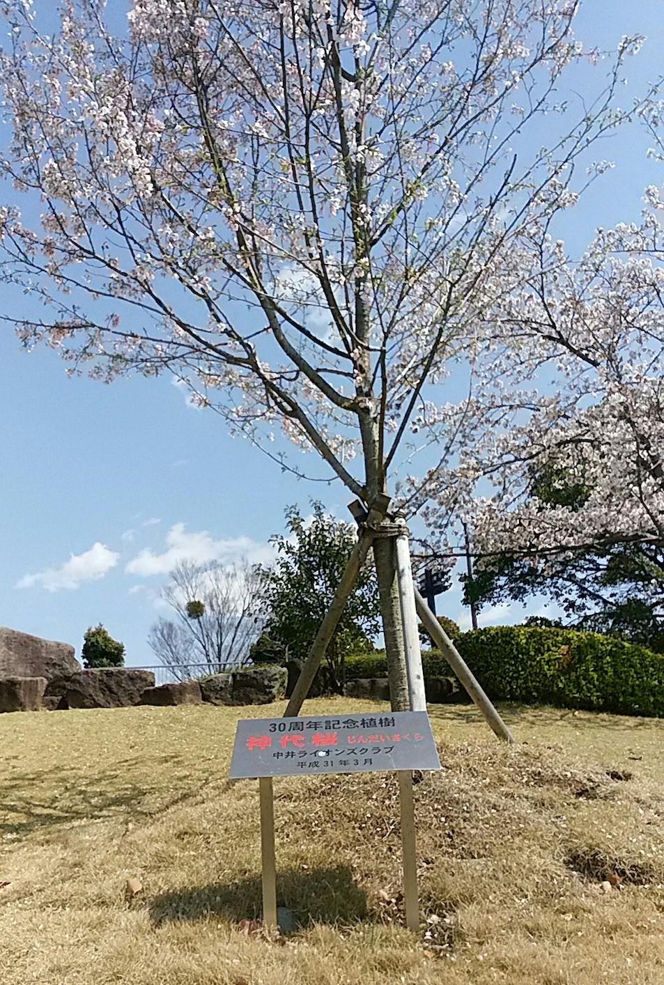 中井中央公園の神代桜