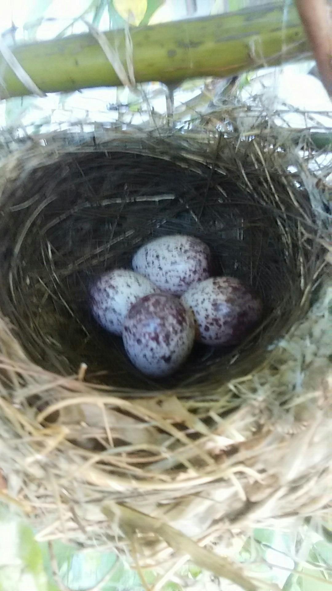 ヒヨドリの卵