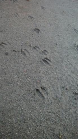 東公園にイノシシの足跡 ご注意を‼
