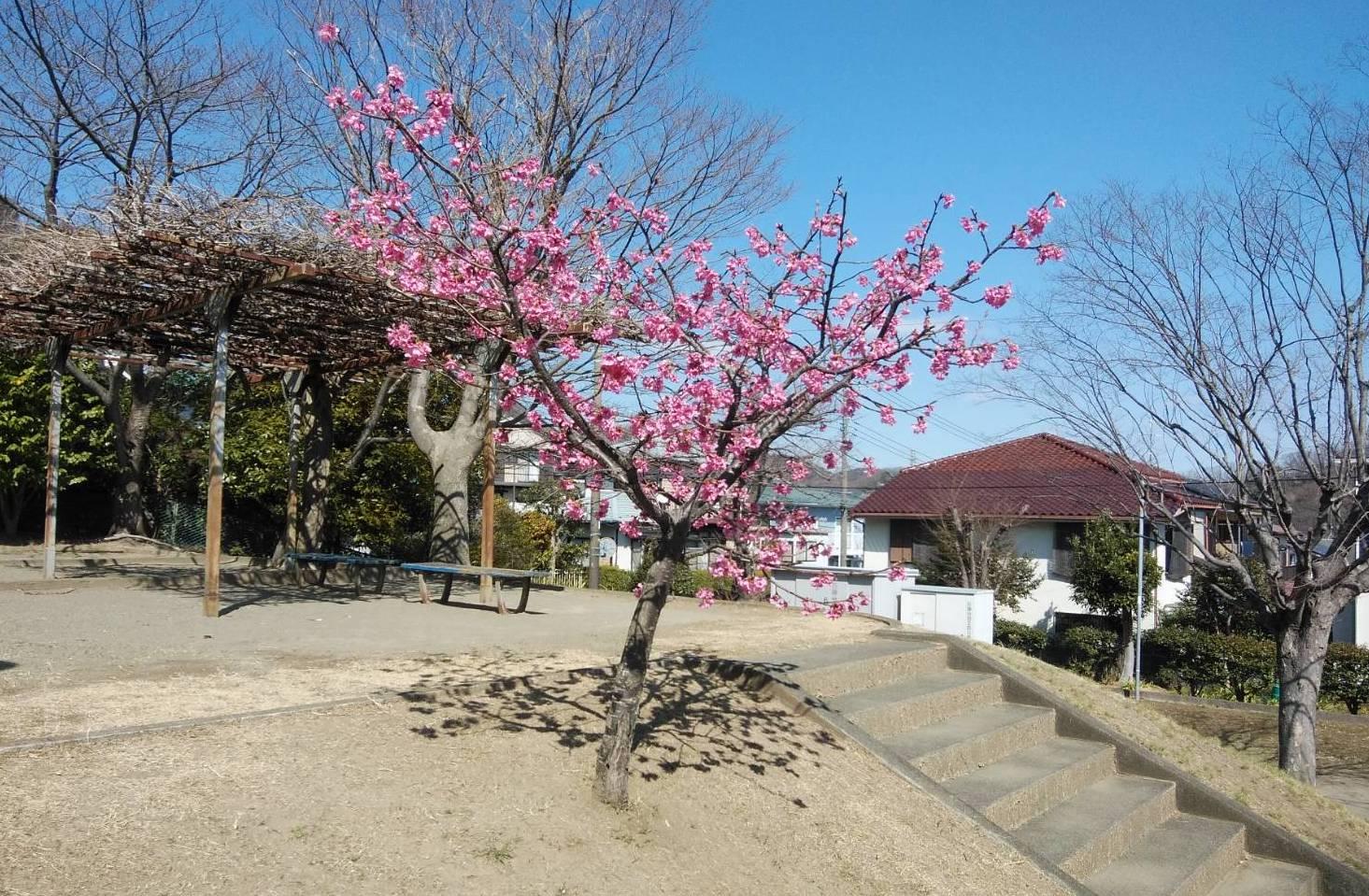 石神台の河津桜