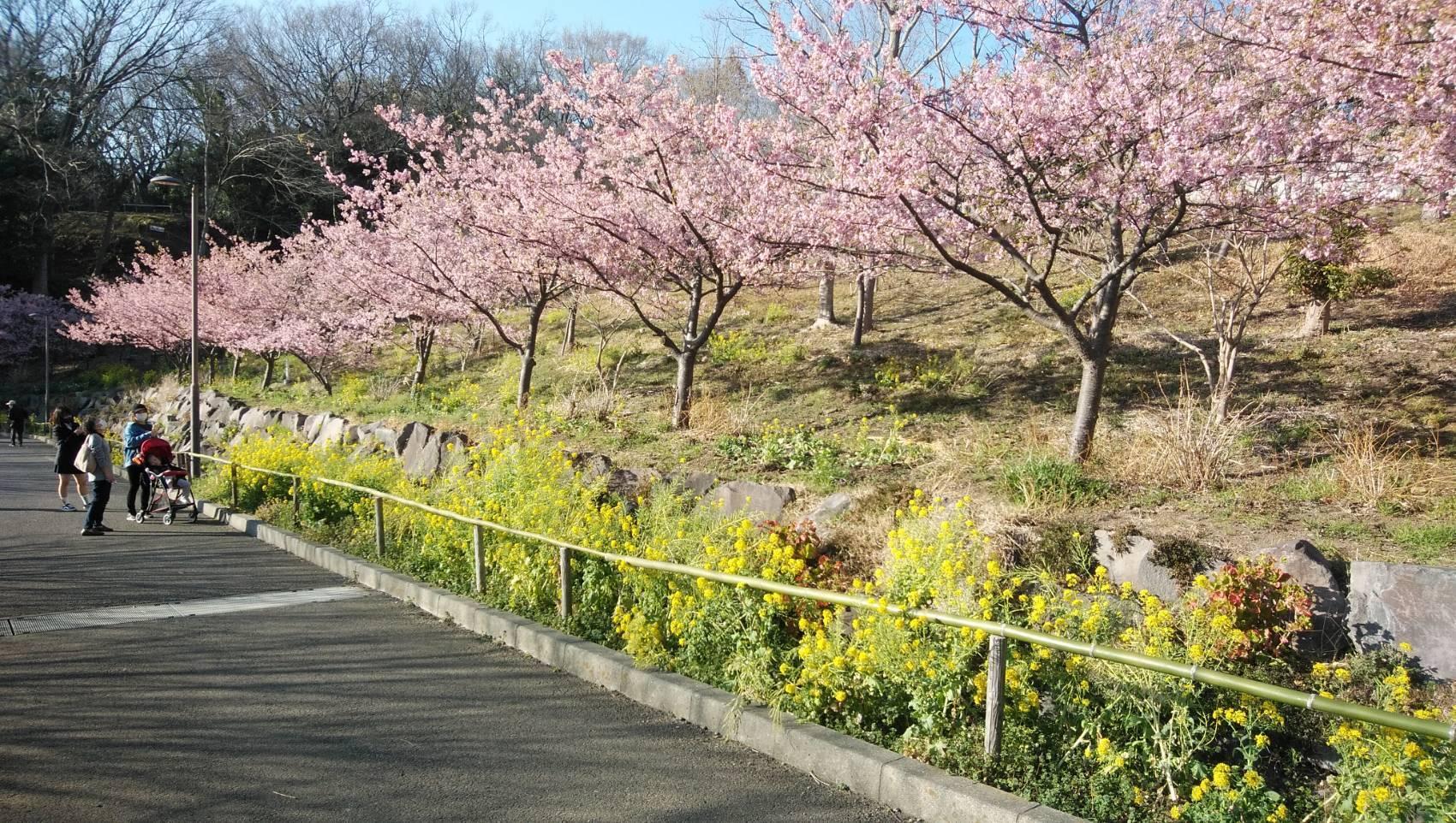 大磯運動公園の河津桜