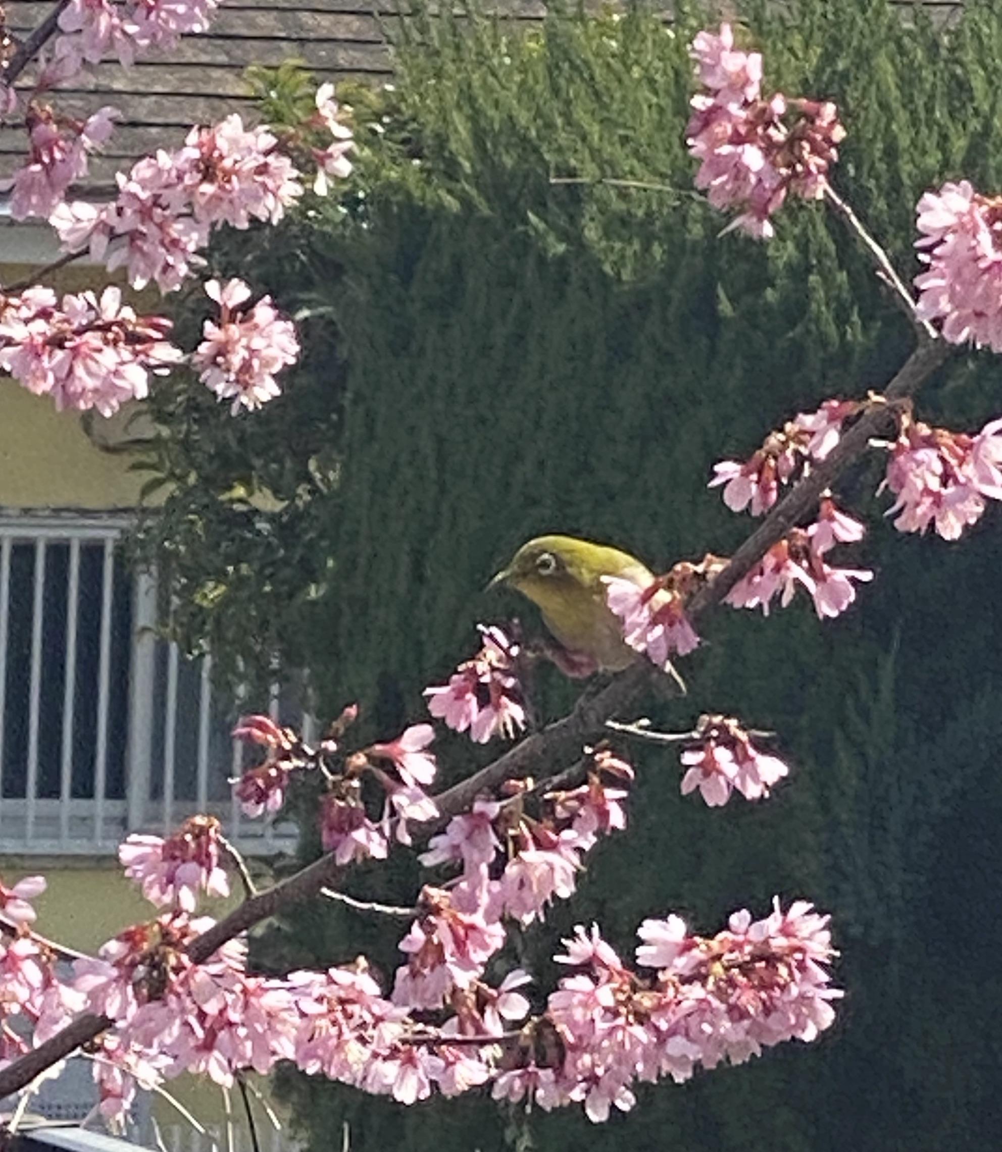 おかめ桜とメジロ