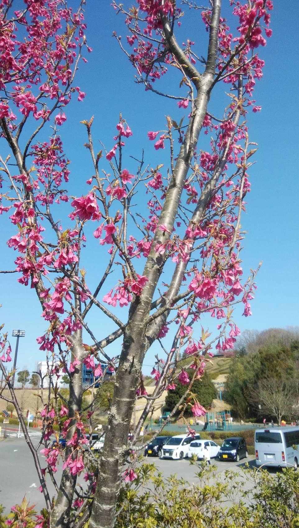 中井中央公園の緋寒桜