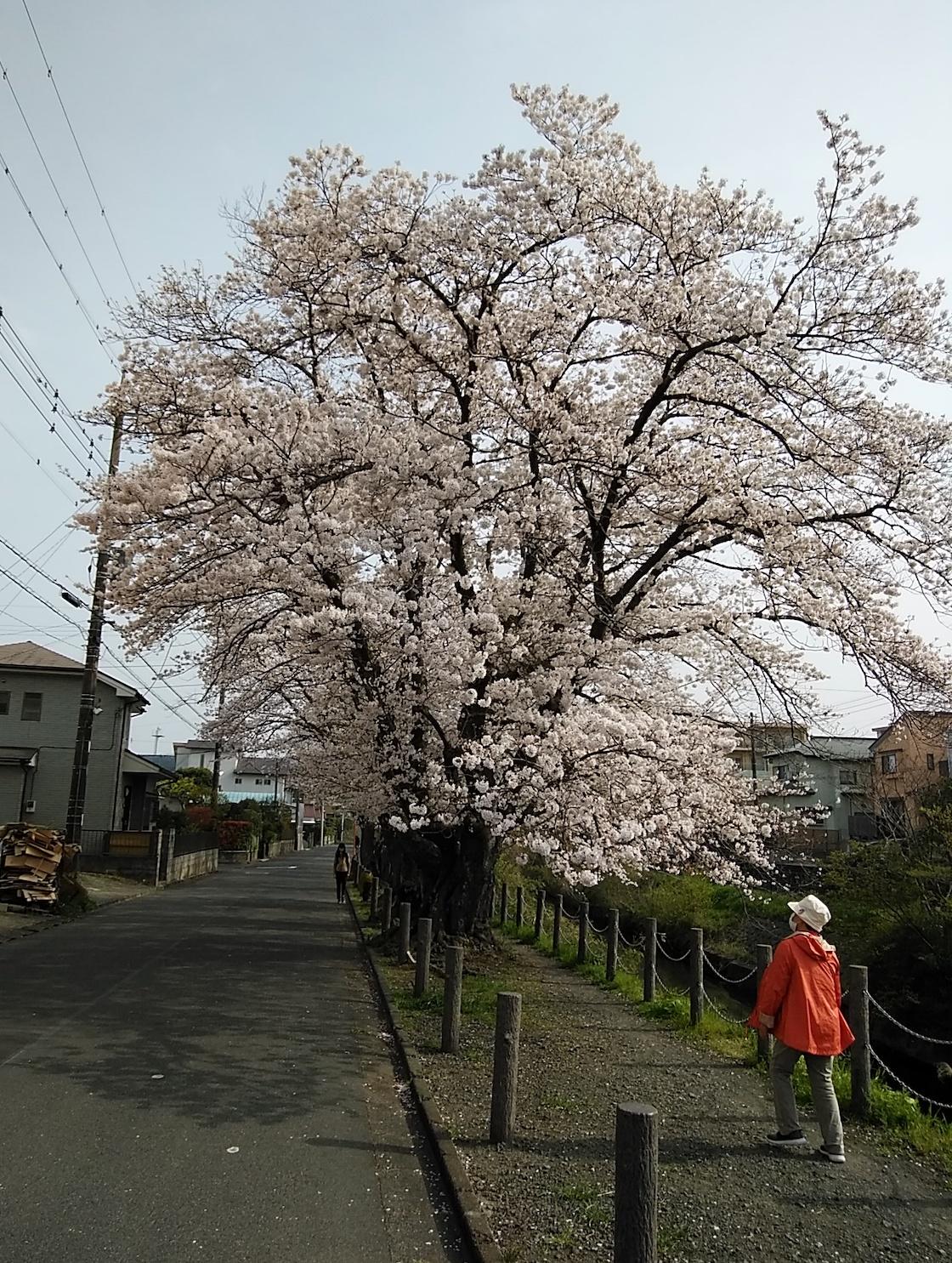二宮葛川沿い桜並木