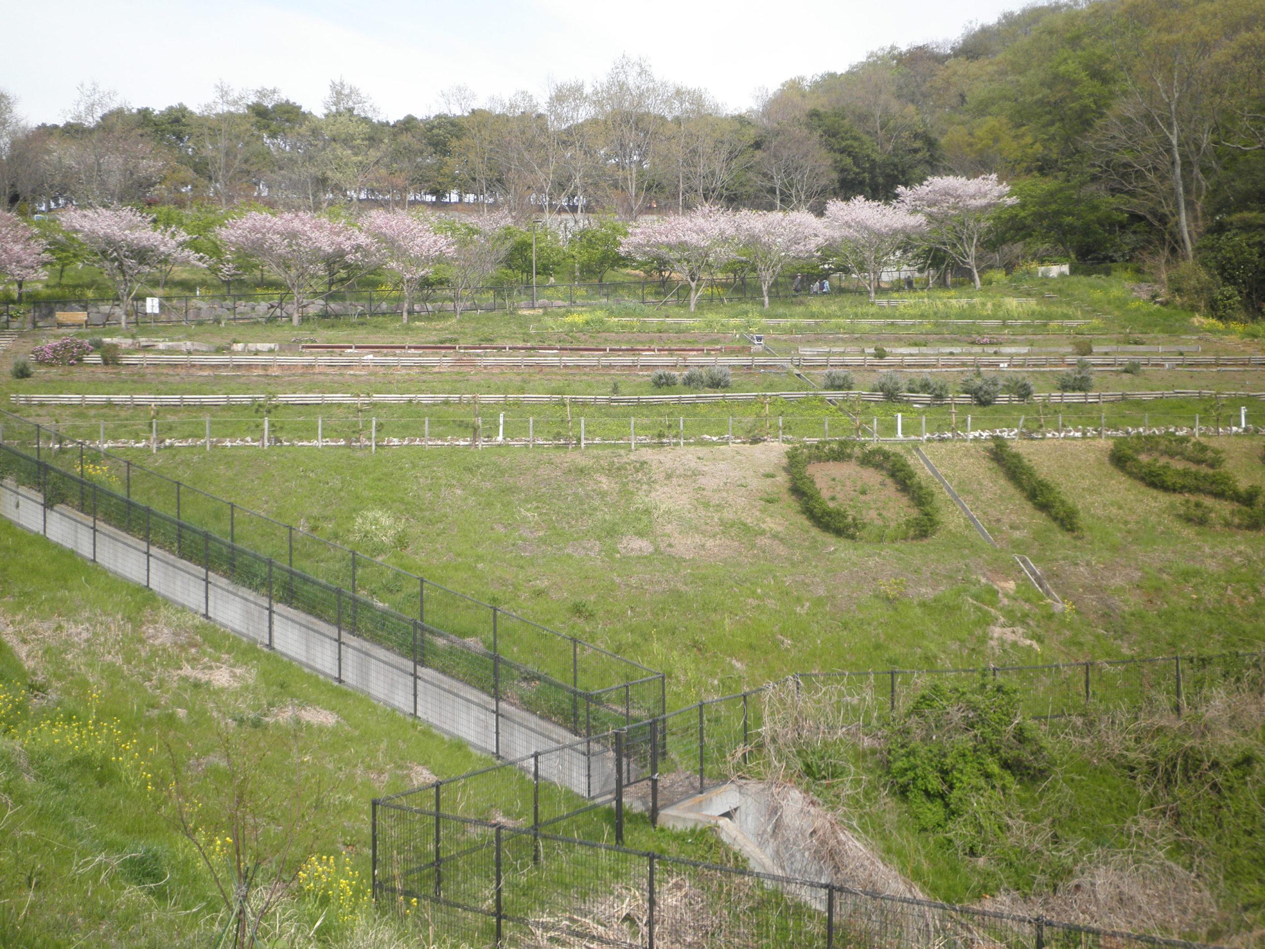 2021年 大磯小桜(運動公園にて)